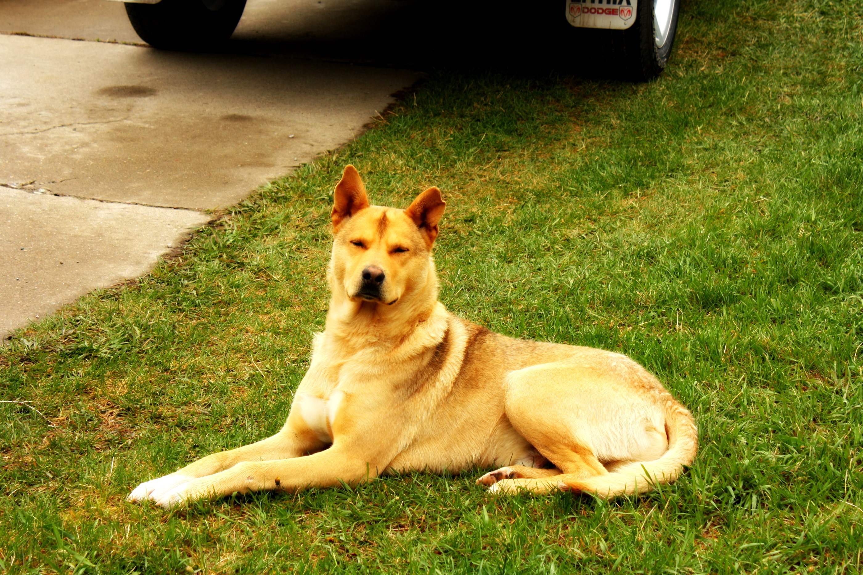 yellow dog laying in a yard in browning montana
